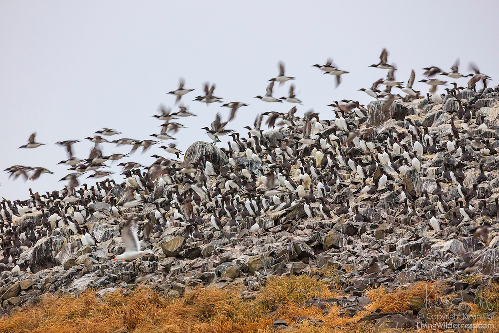 A large flock of Common Murres (Uria aalge), also known as Common Guillemots, dives off one of the Bird Rocks at Chapman Point near Cannon Beach, Oregon. The area is home to one of the largest colonies of breeding murres on the Oregon coast.