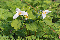 A springtime favorite, this trio of western trilliums (Trillium ovatum) was found growing next to Lewis Creek in Bellevue, Washington - just south of Cougar Mountain. Like many wildflowers and forbs of moist, damp forests in the Pacific Northwest, these trilliums depend on ants for pollination.