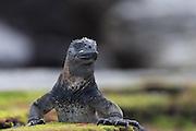 Iguana with a dreamy look at Santiago Island, Galapagos | Iguan med et drømmende blikk på Santiago øya på Galapagos.