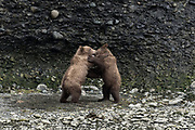 Brown bear spring cubs play together at the McNeil River State Game Sanctuary on the Kenai Peninsula, Alaska. The remote site is accessed only with a special permit and is the world's largest seasonal population of wild brown bears in their natural environment.