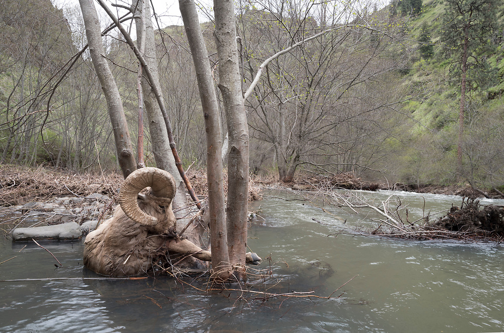 Dead Bighorn sheep washed into a tree by high water, Joseph Canyon, Oregon.