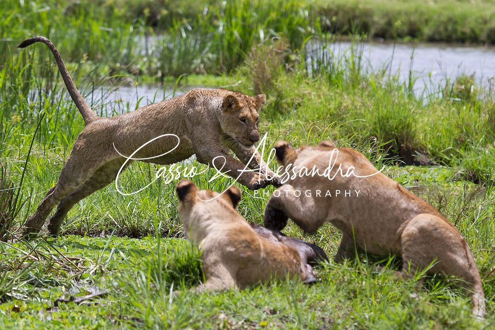 Marsh Pride lionesses and cubs digging out carcasses of killed wildbeests from the marsh while some cubs play stalking and jumping with each other.