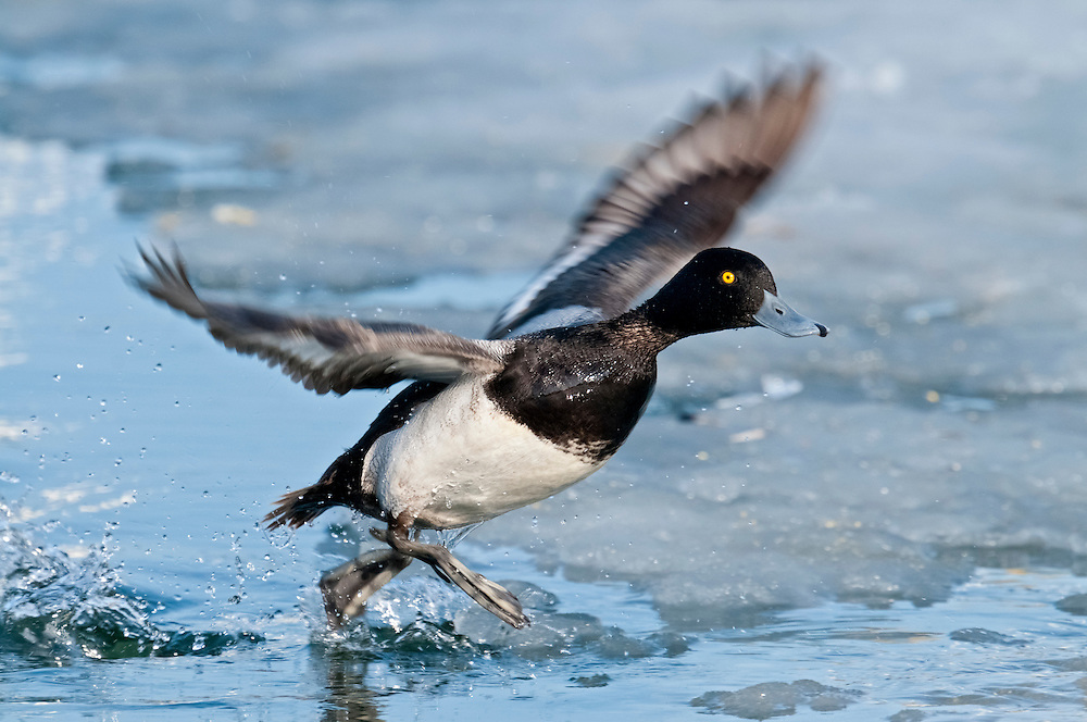 Lesser Scaup, Aythya affinis, male, Detroit River, Ontario, Canada