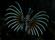 A common Lionsfish. In the Philippines, muck divers head straight to Dauin to begin the hunt. It is considered one of the premier muck diving locations on the planet. On a bad day at Dauin, you can spot more rare animals than a decade out on the reef...