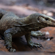 The clouded monitor (Varanus nebulosus) is a species of monitor lizard, native to Burma, Thailand and Indochina to West Malaysia, Singapore, Java, and Sumatra. They are excellent tree climbers. It belongs to the subgenus Empagusia along with the Bengal monitor, the Dumeril's monitor and other monitor lizards