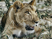 Botswana, Kalahari, private game reserve, captive lioness, hand raised lioness