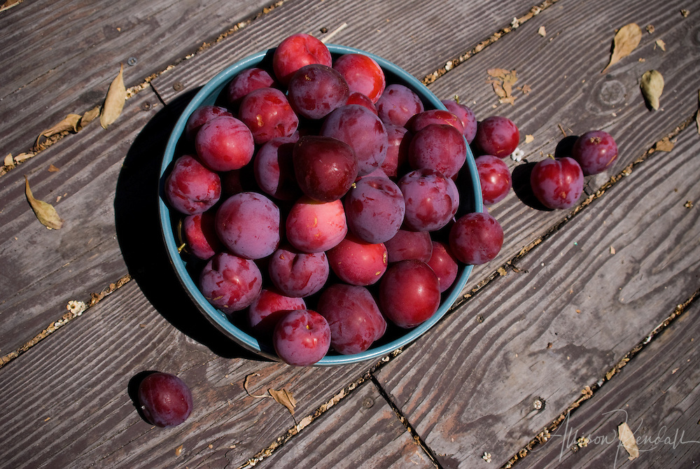 A blue bowl overflows with freshly picked ripe summer plums