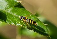 HALFWEG - insecten op de golfbaan ,zweefvlieg zandlanglijf sphaerophoria batava , Amsterdamse Golf Club. (AGC)  . Insecteninventarisatie  COPYRIGHT KOEN SUYK