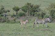 Kenya, Masai Mara common zebra (equus granti) mother and young