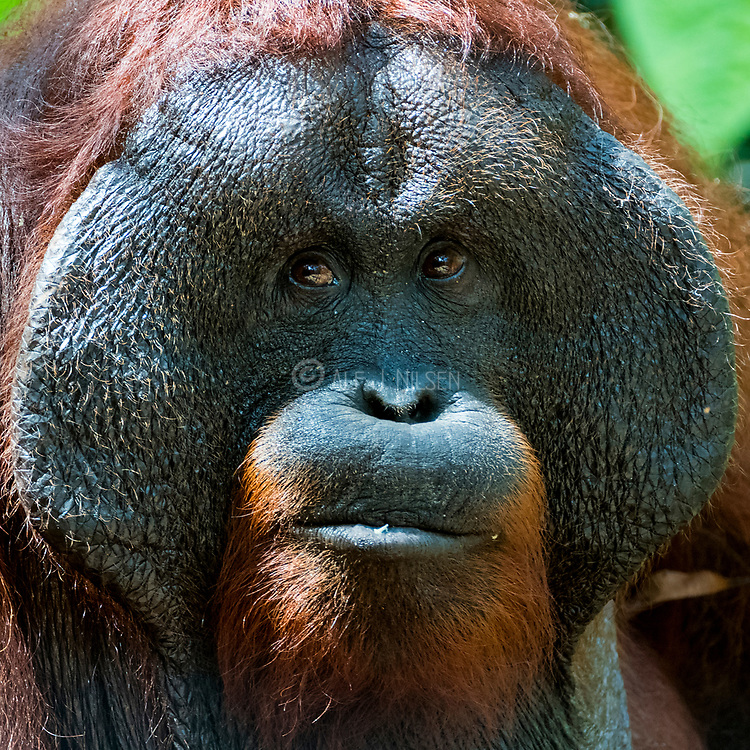 Face of a huge male orangutang (Pongo pygmaeus wurmbi) from Tanjung Putin National Park, Kalimantan, Indonesia