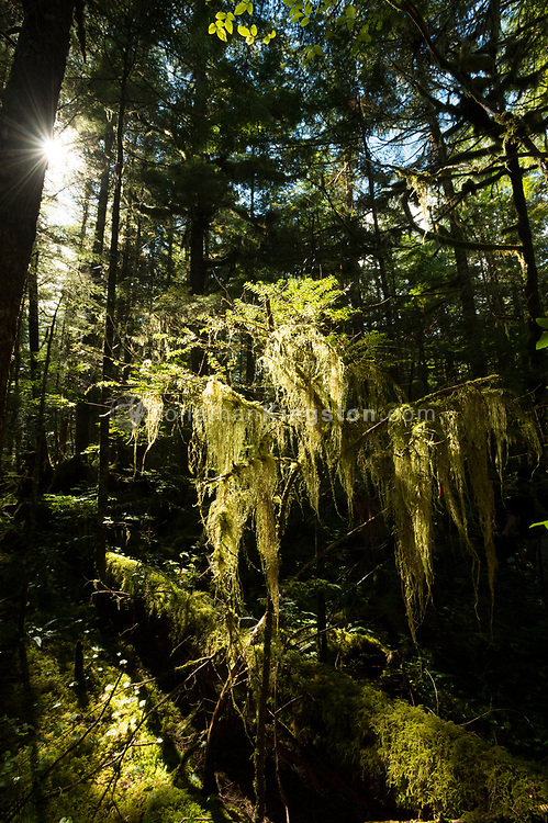 Back-lit Cat-tail moss (Isothecium myosuroides) hanging from a tree in the temperate rainforest of Roderick Island, British Columbia, Canada.