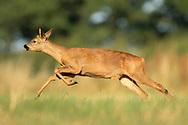 Western Roe Deer (Capreolus capreolus) female running in grass meadow, South Norfolk, UK. July