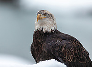 Juvenile Bald Eagle (Haliaeetus leucocephalus) perched on snow covered branch in Chilkat Bald Eagle Preserve in Southeast Alaska. Winter. Morning.