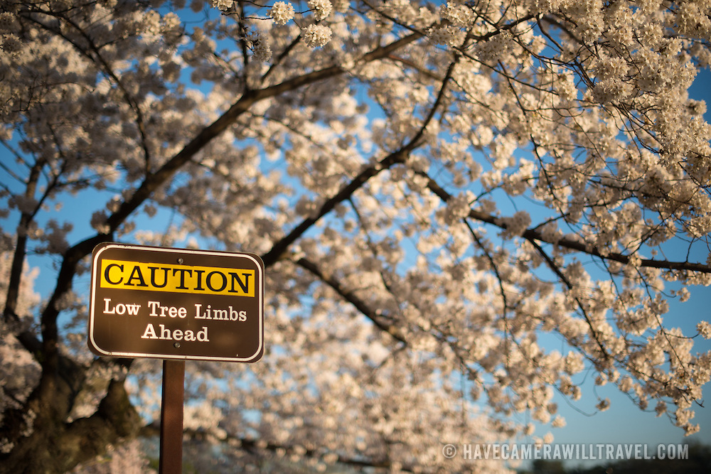 A sign warning of low branches stands under the blooming cherry blossoms in Washington DC.