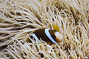 Leathery Sea Anemone (Heteractis Cripsa) and Barrier Reef Clown Anemonefish (Amphiprion Akindynos) - Agincourt reef, Great Barrier Reef, Queensland, Australia. <br />