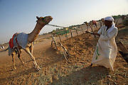 Early morning is the busiest time at the Camel Market. A stubborn racing camel.