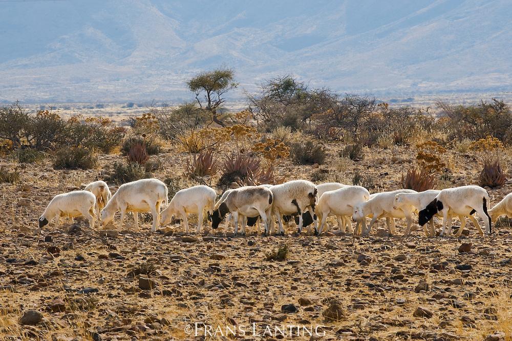 Sheep foraging on overgrazed private land near Namib-Naukluft National Park, Namibiai