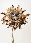 Artichoke Flower, Austin, Texas, August 12, 2015.