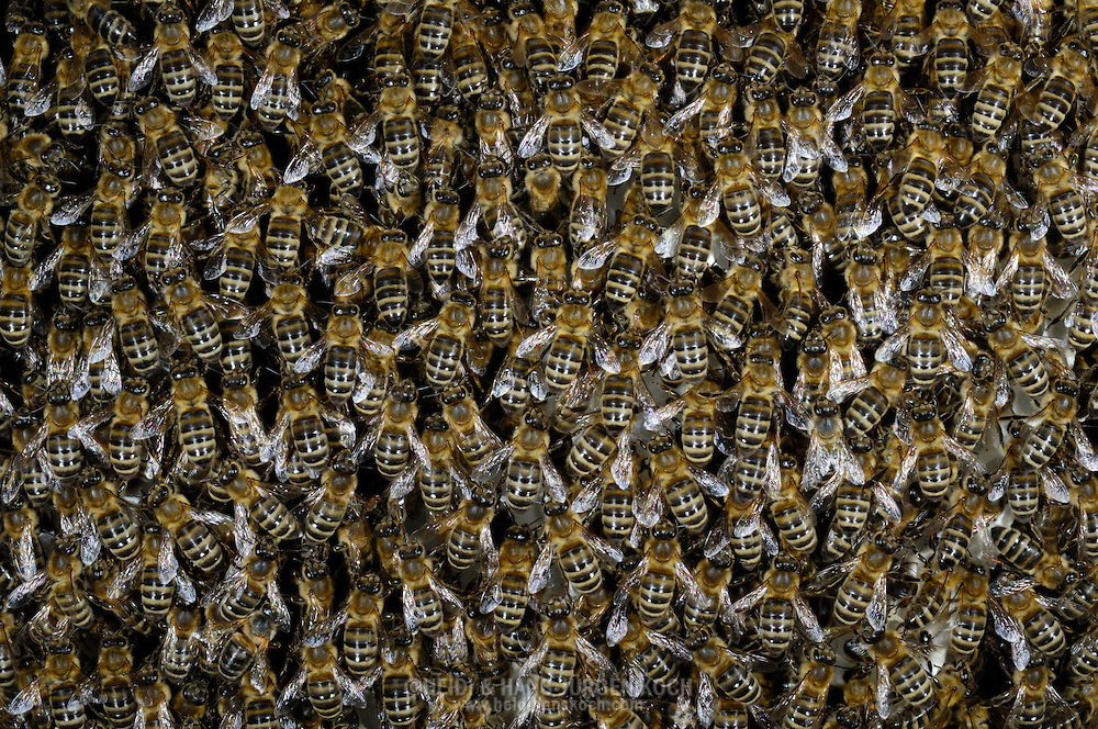 DEU, Deutschland: Biene, Honigbiene (Apis mellifera), Bienenmasse auf einer Wabe, Bienenstation an der Bayerischen Julius-Maximilians-Universität Würzburg | DEU, Germany: Bee, Honey-bee (Apis mellifera), mass of bees on a honeycomb, Beestation at the Bavarian Julius-Maximilians-University Würzburg