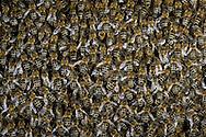 DEU, Deutschland: Biene, Honigbiene (Apis mellifera), Bienenmasse auf einer Wabe, Bienenstation an der Bayerischen Julius-Maximilians-Universität Würzburg | DEU, Germany: Bee, Honey-bee (Apis mellifera), mass of bees on a honeycomb, Beestation at the Bavarian Julius-Maximilians-University Würzburg