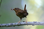 Pacific wren with an insect to feed newly fledged chicks in summer. Yaak Valley in the Purcell Mountains, northwest Montana.