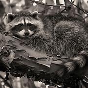 Raccoon kit. Seattle.