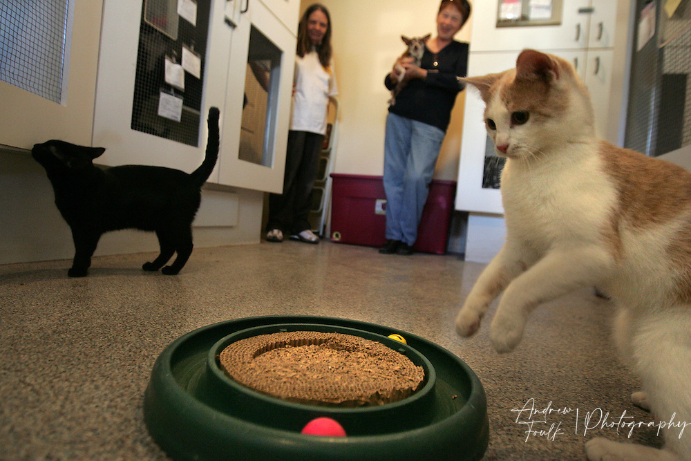/Andrew Foulk/ For the North County Times/.Janet Lucore (right) and Laura who work at Clip & Snip kennel in Murrieta watch   as one of the 82 cats they have plays with a toy. The kennel has 82 cats left from the 103 that had to moved from the Fallbrook Animal Sanctuary to the Murrieta facility.