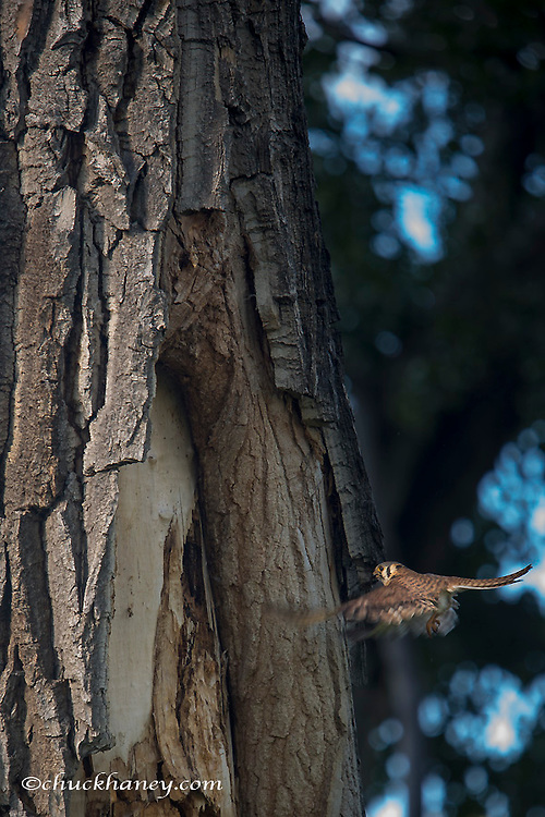 Female American Kestrel returns to nest site inside of a cottonwood tree in the Upper Missouri River National Monument, Montana, USA