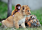 SHENYANG, CHINA - (CHINA OUT) <br /> <br /> Baby Animals Are Friends<br /> Baby tigers, a baby monkey and a baby lion play together at Magic Slop Scenery Area in Shenyang, Liaoning Province of China. <br /> ©ChinaFoto/Exclusivepix