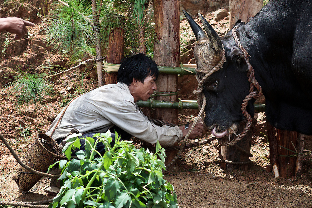 A Christian Catholic man from Chin state tries to tie with a rope a wild ox during a special ceremony where they offer an animal sacrifice to Jesus Christ to chase away bad spirits in Mindat, Chin state, Myanmar, Friday, 31 May 2013. Chin Christian Catholic people mix their ancient pagan practices with the Christian faith.