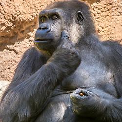 Gorilla, LA Zoo