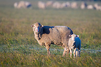 Merino ewe with her lamb, Overberg, Western Cape, South Africa