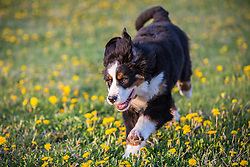 Bernese Mountain Dog running through a filed of yellow flowers