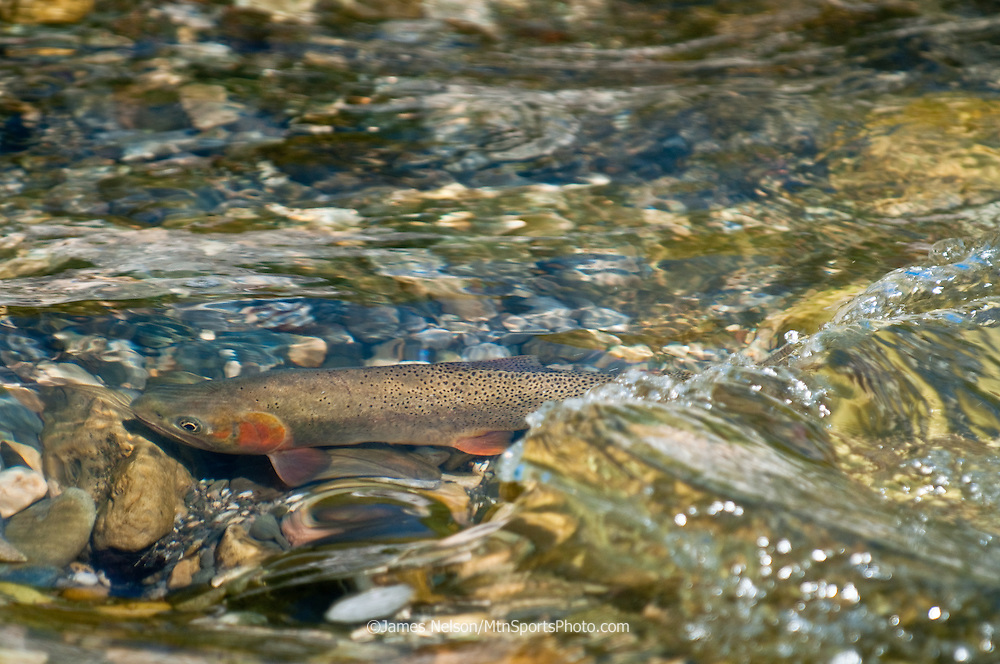 A Yellowstone cutthroat trout hovers above a spawning bed (i.e., redd) in Burns Creek, a tributary of the South Fork of the Snake River, Idaho.