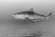 A Tiger Shark, Galeocerdo cuvier, swims offshore Jupiter, Florida, USA, in Federal waters during a shark dive. Image available as a premium quality aluminum print ready to hang.