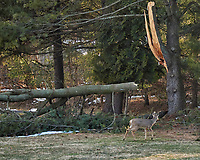 Deer checking out the large branch that broke off the pine tree during the last Nor'easter. Image taken with a Nikon D5 camera and 80-400 mm VRII lens (ISO 4000, 130 mm, f/4.8, 1/2000 sec).