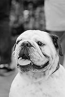 Happy Bulldog Puppy watching the World go by