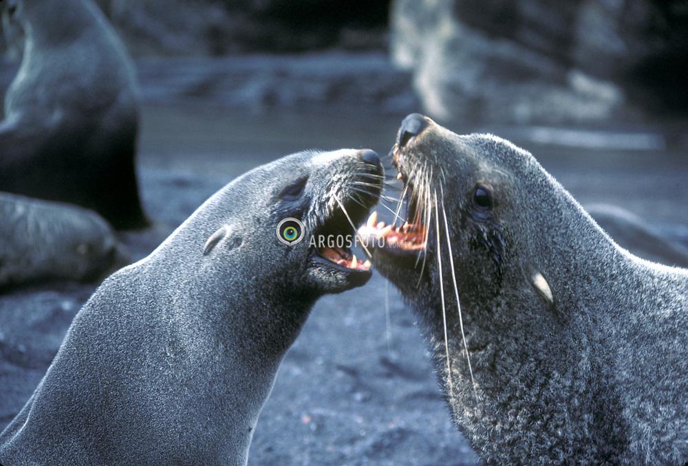 Antartica.O leao-marinho eh um animal mamifero que vive em regioes de baixas temperaturas e se alimenta principalmente de peixes..Os leoes-marinhos ja estiveram muito proximos da extincao. Entre 1917 e 1953, mais de meio milhao desses animais foi abatido por cacadores em busca de sua gordura e de seu couro, usado sobretudo na confeccao de casacos. Com a proibicao da caça, esses animais, que chegam a pesar 300 quilos e a atingir 3 metros de comprimento, comecaram a se recuperar. Mesmo assim, ainda sofrem com a poluicao das aguas e, principalmente, com a pesca realizada com redes./A sea lion is any of several marine mammals of the family Otariidae. Sea lions are characterized by the presence of external ear pinnae or flaps, long front flippers, and the ability to walk on four flippers on land. Sea lions are generally found in coastal waters of the temperate to subpolar regions of both northern and southern hemispheres..Foto: Christiana Carvalho/Argosfoto