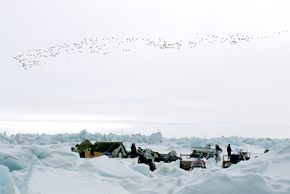 Barrow, Alaska, Whaling camp amid the rugged pack ice of the Chukchi Sea. flock of snowgeese flying overhead.