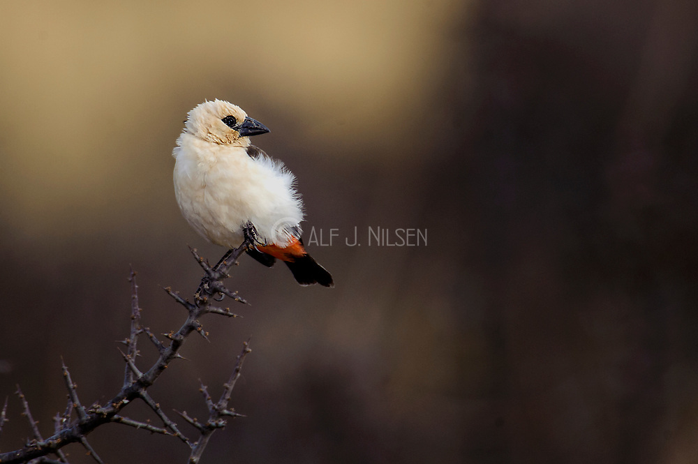 White-headed Buffalo-weaver (Dinemellia dinemelli) from Samburu NP, Kenya.