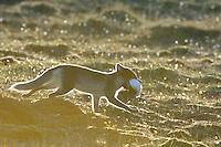 Arctic fox (Alopex lagopus)<br /> Trygghamna<br /> Svalbard <br /> Norway