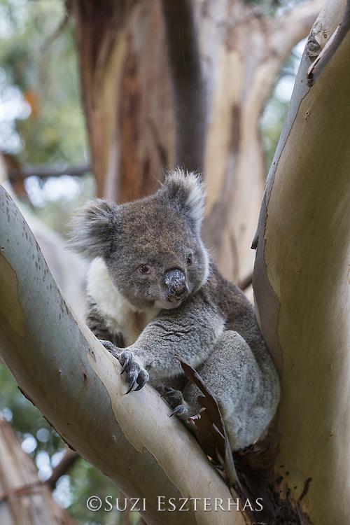 Koala<br /> Dominant male<br /> Kangaroo Island, Australia