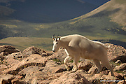 Mountain Goat<br /> Mount Evans Wilderness, Colorado<br /> <br /> Mountain goats inhabit some of the most inhospitable regions in North America. They are at home among precipitous mountain terrain and alpine meadows. Short summers, winter winds exceeding 100 miles-per-hour, blizzards lasting weeks, 50-foot snow drifts, and temperatures dropping to 50, 60, and even 70 degrees below zero &ndash; this is the world of the mountain goat.<br /> <br /> Edition of 500