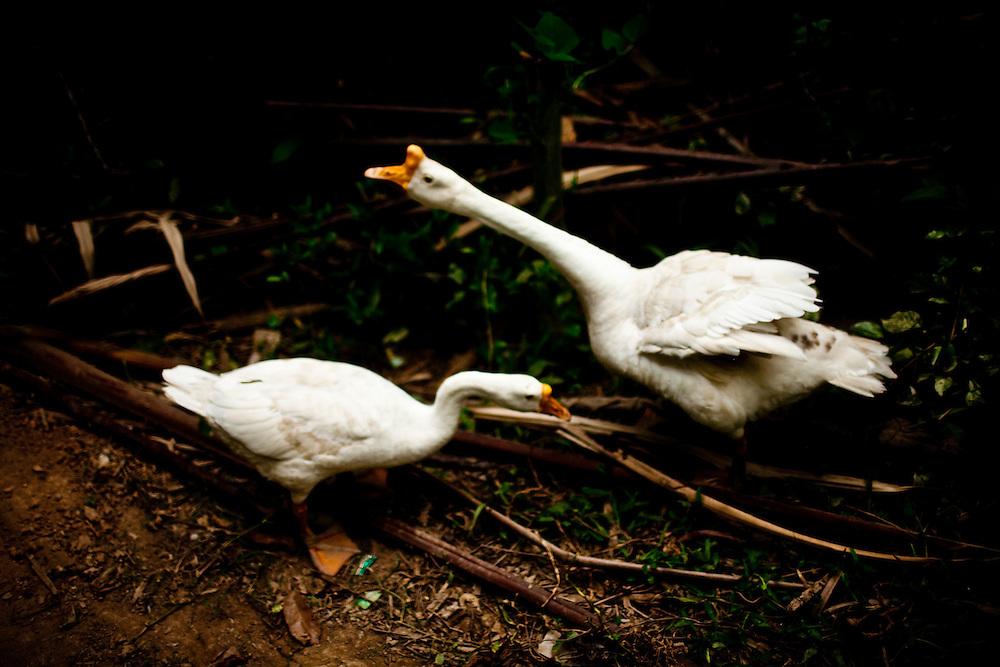 Two ducks in Vietnam's Ben Tre province.
