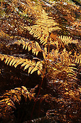 Copper-coloured Autumnal Bracken fronds lit by morning Sunlight in the Lincolnshire Limewoods.<br />