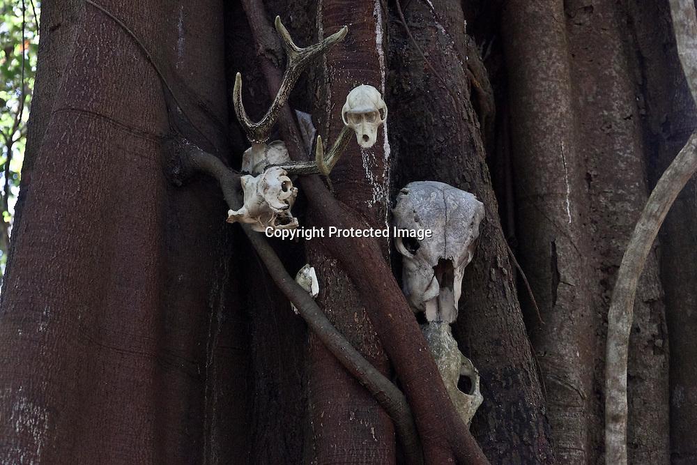 Indonesia, Komodo island,  Rinca island , in Komodo national park, squelette of animals eaten by Komodo dragons