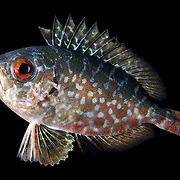 A juvenile blotched bigeye or glasseye (Heteropriacanthus cruentatus), 3-4cm in size, photographed during a blackwater dive in Palau.