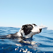 A dog swims in the Gulf Stream off of Ocracoke Island. Located at the southernmost tip of North Carolina's Outer Banks, Ocracoke Island is part of the Cape Hatteras National Seashore.