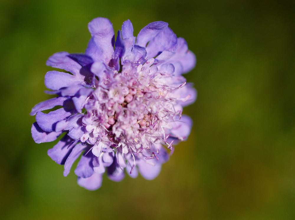 Switzerland - Schynige Platte wildflower