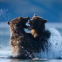 USA, Alaska, Katmai National Park, Brown Bear (Ursus arctos) sparring in Kukak Bay on late summer morning